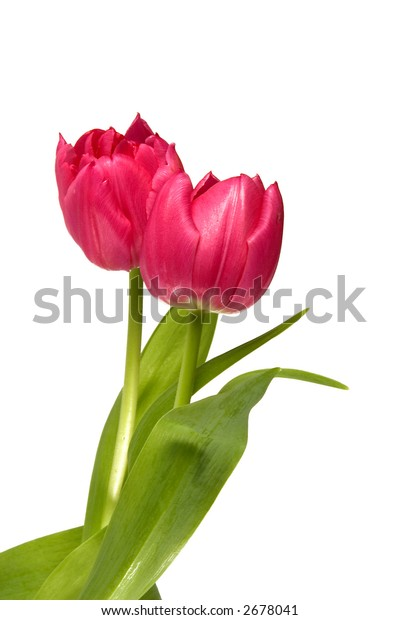 red tulip isolated one a white background