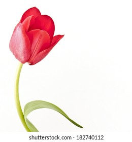 Red tulip with leave on a white background closeup with space for your text