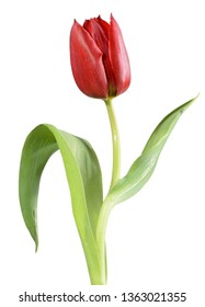 A red tulip, like an opera singer on stage with gestures and even facial expressions, she sings her existence in a colorful world, turns against a white background
