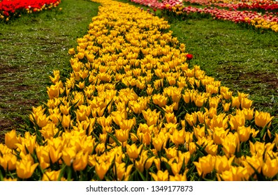 A red tulip in the midst of yellow tulips