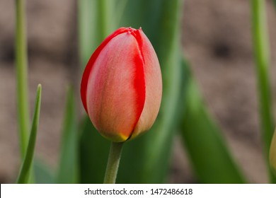 red tulip olives bud close-up