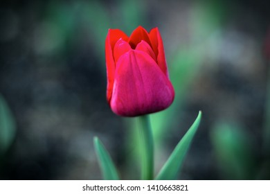 red tulip pink single flower dark background