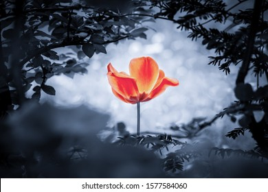 Red tulip soul in cold blue for peace heal hope. The flower is symbol for power of life and mind strength beyond grief death and sorrows. Also symbolizes healing of stress or burnout