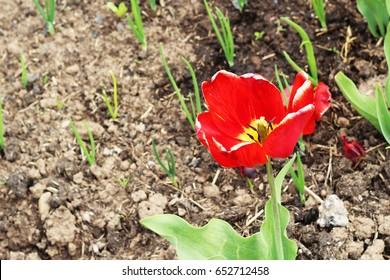 Red tulip. Spring landscape.