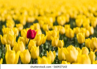 A red tulip is standing in a field  with yellow tulips in full bloom. The red tulip is a little higher than the yellow flowers, which makes a nice contrast in color and height.