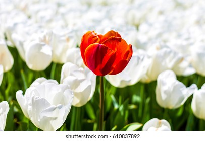 Red tulip surrounded by white tulips