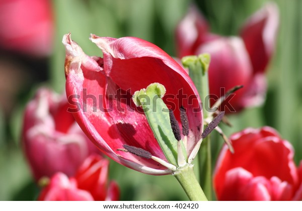 Red Tulip View