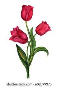 Red tulip watercolor isolated on white background.Element for design