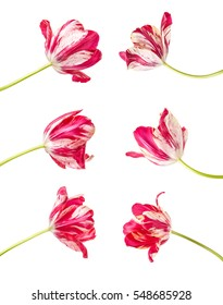 red tulip with white veins. isolated on white background. Set
