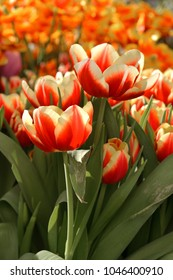 Red Tulipa Leen van der Mark (Triumph Tulip), Russia