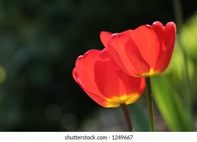 red tulips - Shutterstock ID 1249667