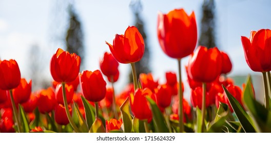 Red tulips background. Beautiful tulip in the meadow. Flower bud in spring in the sunlight. Flowerbed with flowers. Tulip close-up. Red flower