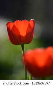 Red tulips with backlighting on a dark background. Soft focus, bokeh and sunlight
