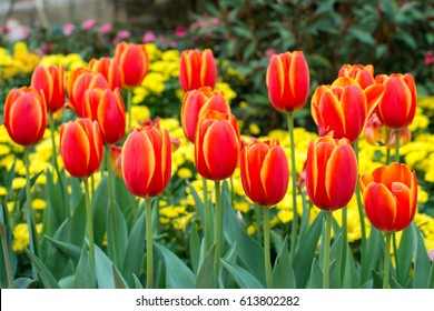 Red tulips with beautiful bouquet background, Tulip