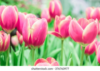 Red tulips blooming in the flower garden.