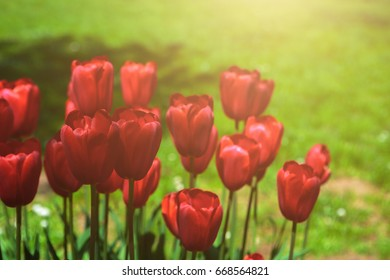 Red tulips blooming flowers field, green grass lawn in beautiful spring park. In the backlight warm sunbeam light. Springtime concept.