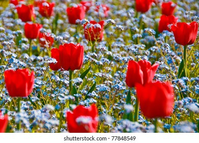 Red Tulips in a blue Forget-me-not field