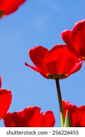 Red tulips and blue sky - spring. Close-up shot