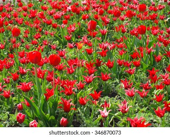 Red tulips with bright petals on the sun
