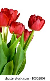 Red tulips, bunch close-up. Isolated on white