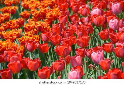 Red tulips and burgeons growing on the lawn in the city park.