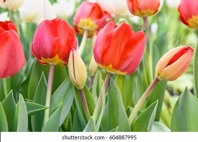 Red tulips, close up, in a flower field, spring time, bardar village, moldova