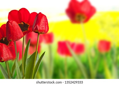 Red tulips with drops of water in the meadow