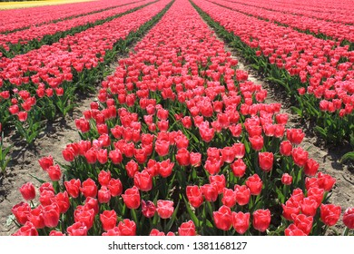 red tulips in the field