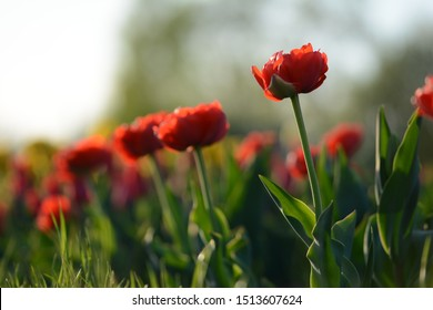 Red tulips in a field with backlighting and visible depth of field. Soft focus, bokeh and sunlight