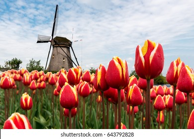 Red tulips field and  traditional Dutch windmill, Netherlands