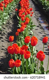 Red tulips in a field at a western Washington tulip festival