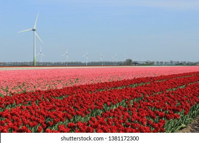 red tulips in the field and windmills