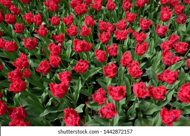 Red tulips fields in the Netherlands