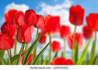 Red tulips in the flower bed with blue sky