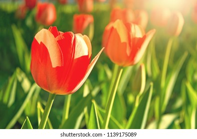 Red tulips flower bloom on red tulips flowers background.