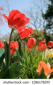 Red Tulips in the flower field