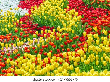 Red tulips flower, yellow tulips, bloom in spring tulips garden. Color flower tulips background.