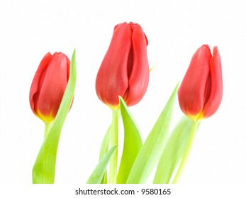 Red tulips with focus on center tulip