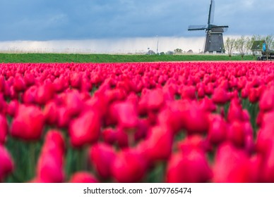 Red tulips in foreground frame the windmill in spring Berkmeer Koggenland North Holland Netherlands