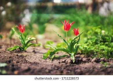 tulipes rouges dans le jardin