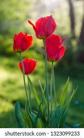 Red tulips in the garden, backlight. Shallow depth of field