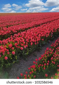 Red tulips up to the horizon.