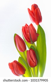 Red tulips isolated on the white background