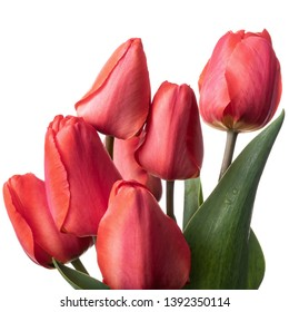 Red tulips isolated on a white background