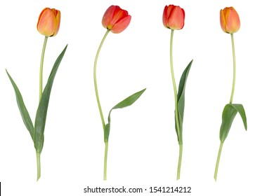 Red tulips isolated on a white background.