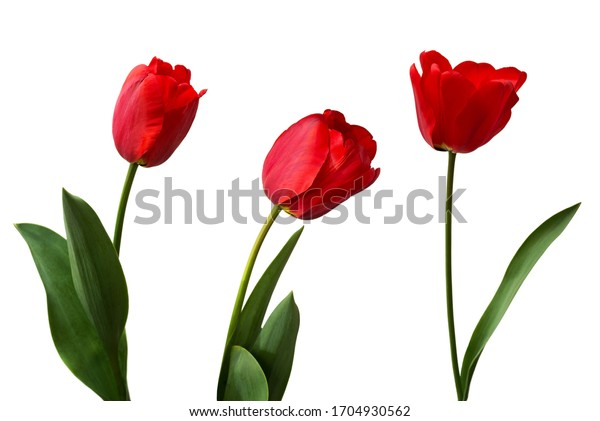 Red tulips isolated on white background.