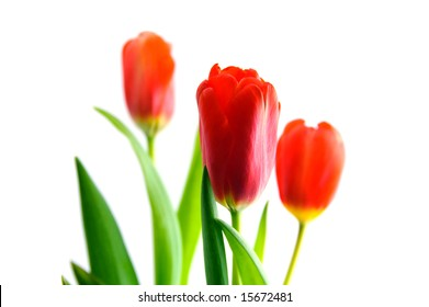 Red tulips isolated over white background