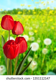 Red tulips in the meadow in the springtime
