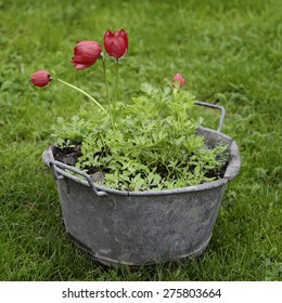 Red tulips in a metal vintage pot