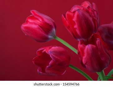 red tulips on red background